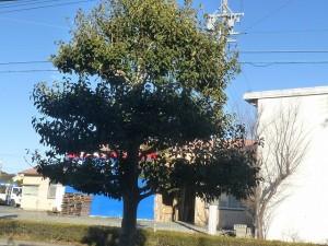 クロガネモチの木1