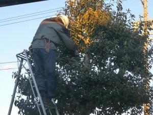クロガネモチの木の剪定