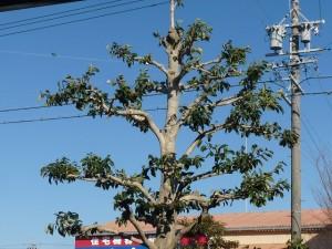クロガネモチの木2